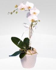 1 dallı orkide saksı çiçeği  Düzce çiçek siparişi sitesi