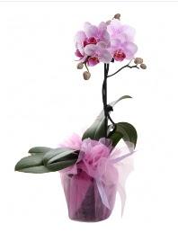 1 dal pembe orkide saksı çiçeği  Düzce ucuz çiçek gönder