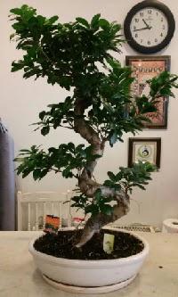 100 cm yüksekliğinde dev bonsai japon ağacı  Düzce çiçekçiler