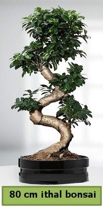 80 cm özel saksıda bonsai bitkisi  Düzce cicek , cicekci