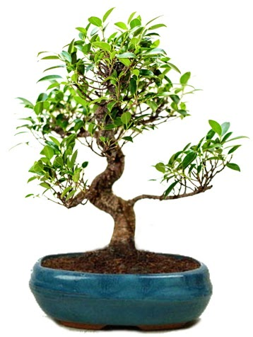 25 cm ile 30 cm aralığında Ficus S bonsai  Düzce internetten çiçek siparişi