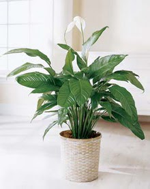 Düzce yurtiçi ve yurtdışı çiçek siparişi  spatilyum ithal büyük boy