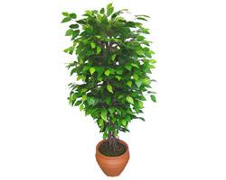 Ficus Benjamin 1,50 cm   Düzce çiçek yolla