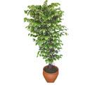 Ficus özel Starlight 1,75 cm   Düzce online çiçekçi , çiçek siparişi
