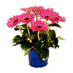 vazo içerisinde gerbera çiçekleri   Düzce yurtiçi ve yurtdışı çiçek siparişi