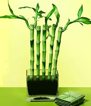 Düzce çiçek yolla  Good Harmony Lucky Bamboo camda