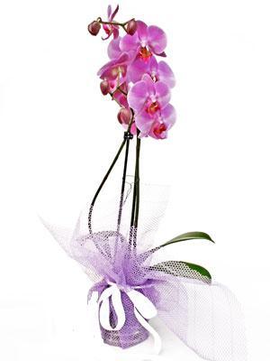 Düzce çiçek yolla  Kaliteli ithal saksida orkide