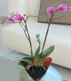 Düzce hediye sevgilime hediye çiçek  tek dal ikili orkide saksi çiçegi