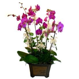 Düzce online çiçekçi , çiçek siparişi  4 adet orkide çiçegi