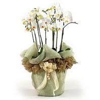 Düzce çiçek online çiçek siparişi  3 dal orkide , saksi çiçegi , 3 kök orkide
