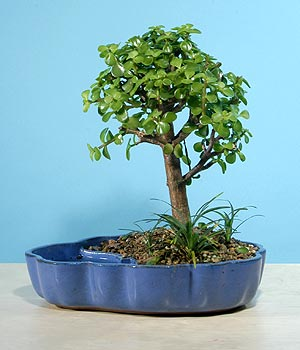 ithal bonsai saksi çiçegi  Düzce çiçek mağazası , çiçekçi adresleri