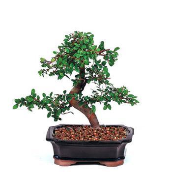 ithal bonsai saksi çiçegi  Düzce güvenli kaliteli hızlı çiçek