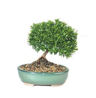 ithal bonsai saksi çiçegi  Düzce çiçek yolla , çiçek gönder , çiçekçi
