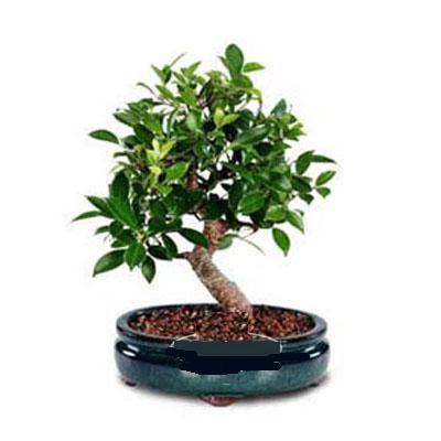 ithal bonsai saksi çiçegi  Düzce çiçek online çiçek siparişi