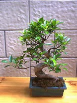 ithal bonsai saksi çiçegi  Düzce çiçek gönderme