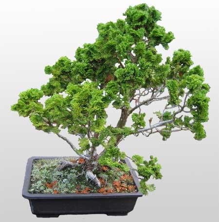 ithal bonsai saksi çiçegi  Düzce çiçekçiler