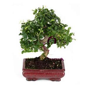 ithal bonsai saksi çiçegi  Düzce çiçek yolla