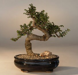 ithal bonsai saksi çiçegi  Düzce çiçek gönderme sitemiz güvenlidir