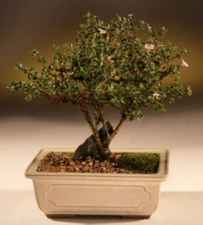 ithal bonsai saksi çiçegi  Düzce çiçek , çiçekçi , çiçekçilik