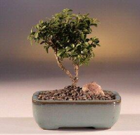 Düzce çiçek siparişi vermek  ithal bonsai saksi çiçegi  Düzce çiçek servisi , çiçekçi adresleri