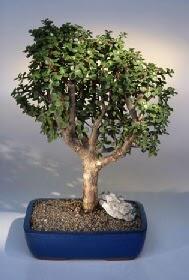 Düzce online çiçek gönderme sipariş  ithal bonsai saksi çiçegi  Düzce çiçek mağazası , çiçekçi adresleri