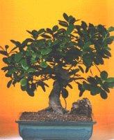 Düzce cicek , cicekci  ithal bonsai saksi çiçegi  Düzce kaliteli taze ve ucuz çiçekler