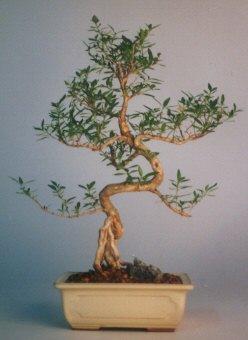 Düzce cicekciler , cicek siparisi  ithal bonsai saksi çiçegi  Düzce güvenli kaliteli hızlı çiçek