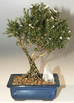 Düzce uluslararası çiçek gönderme  ithal bonsai saksi çiçegi  Düzce yurtiçi ve yurtdışı çiçek siparişi