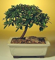 Düzce 14 şubat sevgililer günü çiçek  ithal bonsai saksi çiçegi  Düzce online çiçekçi , çiçek siparişi