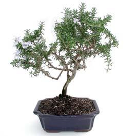 ithal bonsai saksi çiçegi  Düzce cicek , cicekci
