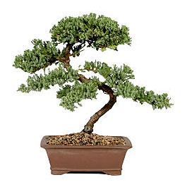 ithal bonsai saksi çiçegi  Düzce internetten çiçek siparişi