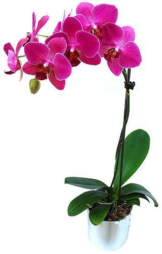 Düzce hediye sevgilime hediye çiçek  saksi orkide çiçegi