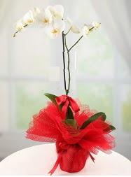 1 dal beyaz orkide saksı çiçeği  Düzce çiçekçi mağazası