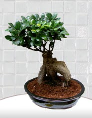 saksı çiçeği japon ağacı bonsai  Düzce ucuz çiçek gönder