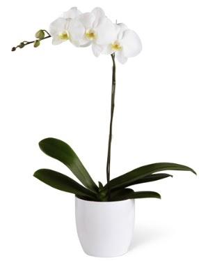 1 dallı beyaz orkide  Düzce çiçek gönderme sitemiz güvenlidir