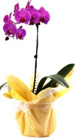 Düzce çiçek online çiçek siparişi  Tek dal mor orkide saksı çiçeği