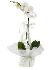 1 dal beyaz orkide çiçeği  Düzce güvenli kaliteli hızlı çiçek