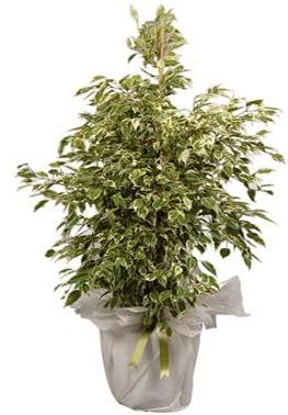 Orta boy alaca benjamin bitkisi  Düzce çiçek servisi , çiçekçi adresleri