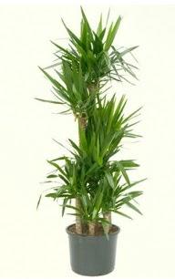 7 li yucca saksı bitkisi  Düzce çiçek satışı