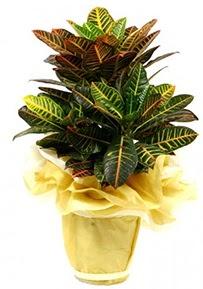 Orta boy kraton saksı çiçeği  Düzce çiçek gönderme sitemiz güvenlidir
