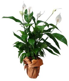 Orta boy barış çiçeği limon çiçeği  Düzce kaliteli taze ve ucuz çiçekler