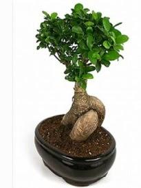 Bonsai saksı bitkisi japon ağacı  Düzce çiçek online çiçek siparişi