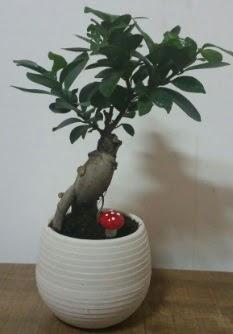 Bonsai japon ağacı saksı çiçeği  Düzce internetten çiçek siparişi