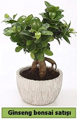 Ginseng bonsai japon ağacı satışı  Düzce cicek , cicekci
