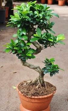 Orta boy bonsai saksı bitkisi  Düzce kaliteli taze ve ucuz çiçekler