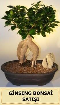 İthal Ginseng bonsai satışı japon ağacı  Düzce çiçek online çiçek siparişi