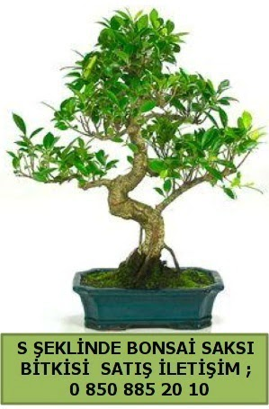 İthal S şeklinde dal eğriliği bonsai satışı  Düzce online çiçek gönderme sipariş