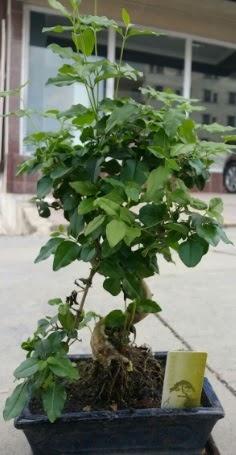Bonsai japon ağacı saksı bitkisi  Düzce güvenli kaliteli hızlı çiçek