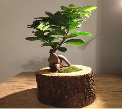Doğal kütükte Bonsai japon ağacı satışı  Düzce çiçek servisi , çiçekçi adresleri