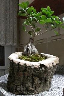 Ahşap kütük içerisinde ginseng bonsai  Düzce kaliteli taze ve ucuz çiçekler